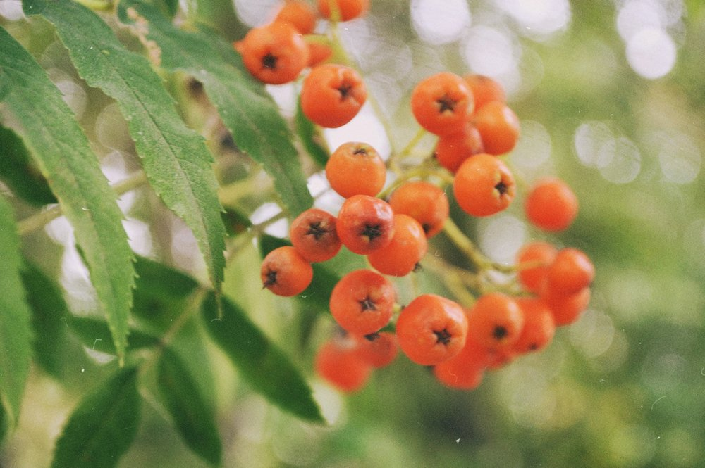 Sea Buckthorn Powder -