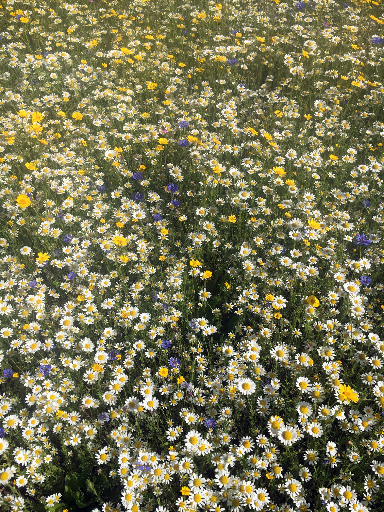 Wildflowers planted from seed
