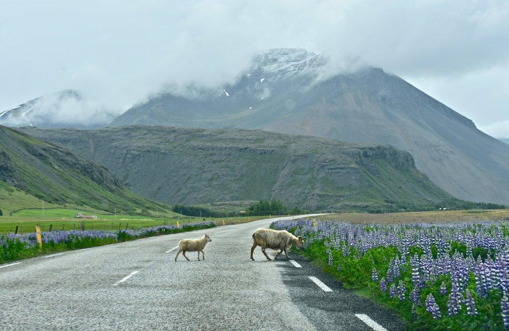 Sheep Crossing the Road in East Iceland between Höfn and Egilsstadir