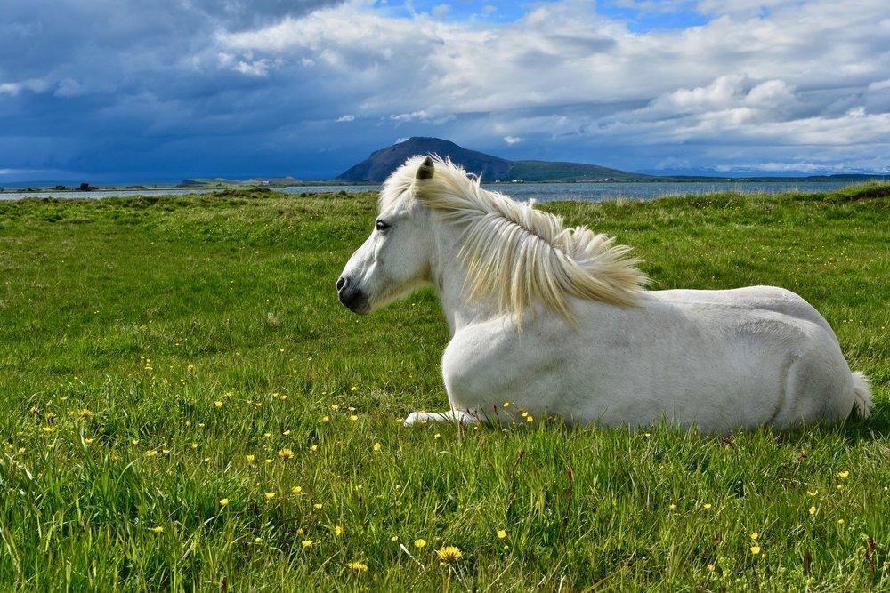 Majestic horse on the edge of Lake Myvatn