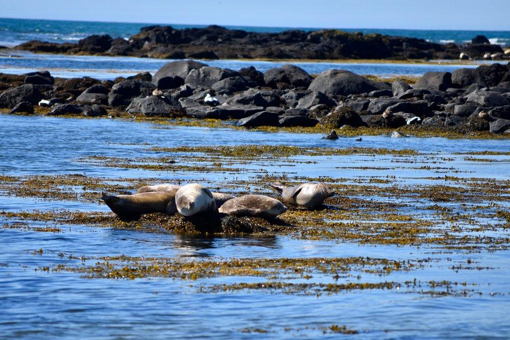 Seals at Ytri Tunga, Snæfellsnes Peninsula, Iceland