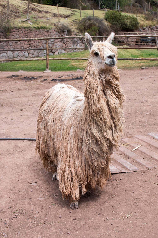 Alpaca at Awana Kancha