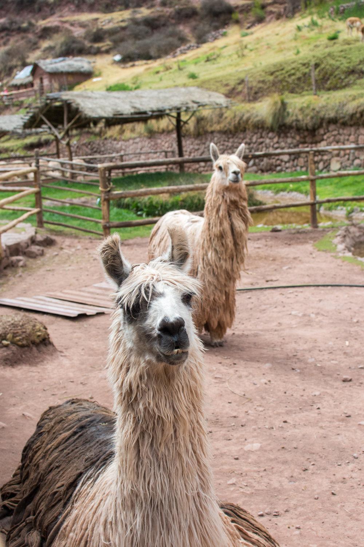 Alpacas at Awana Kancha