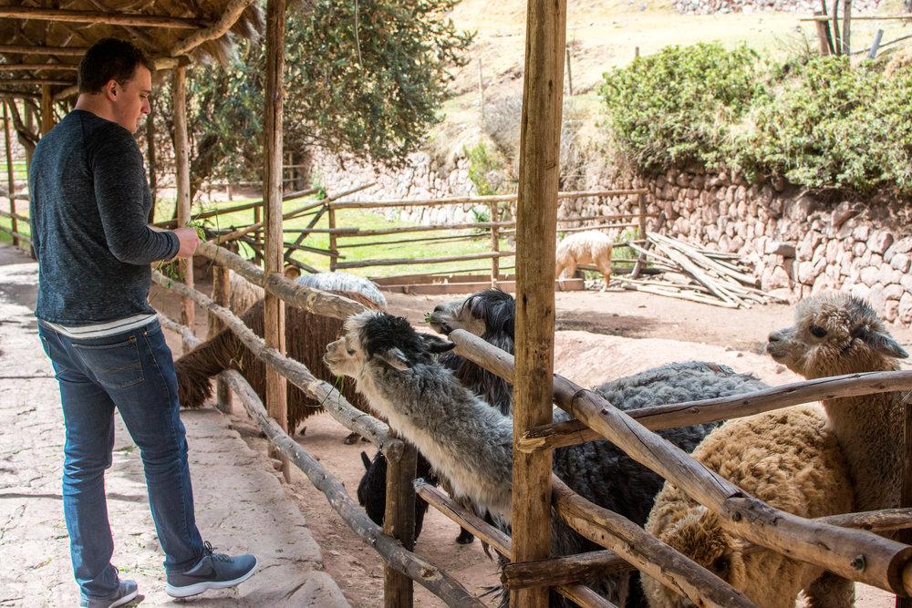 Feeding Alpacas at Awana Kancha