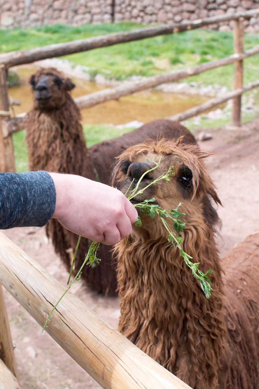 Alpaca eating alfalfa