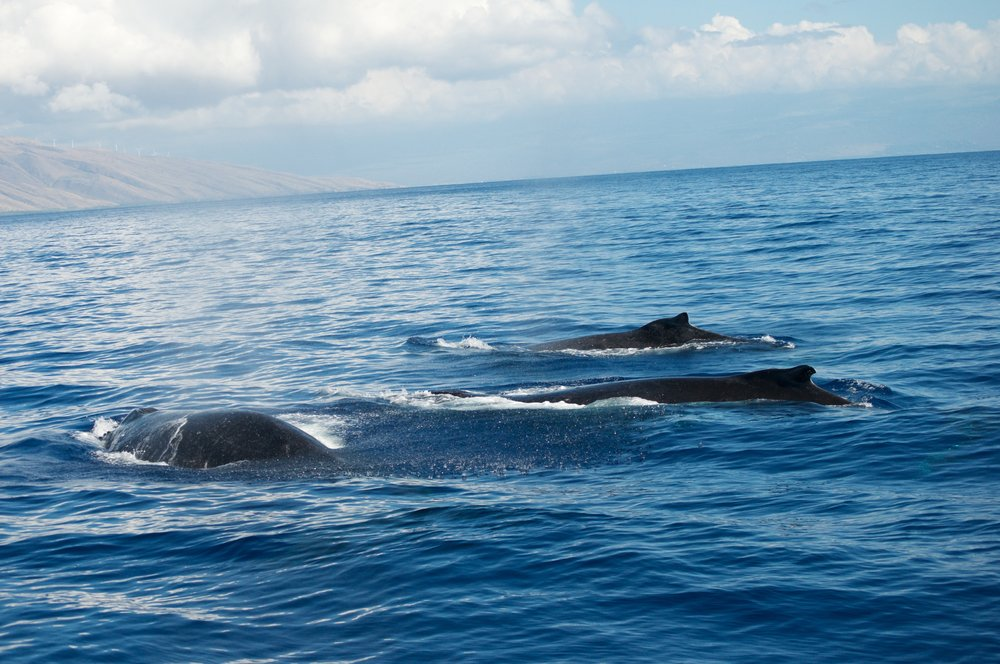 Whale Watching Tour in Maui