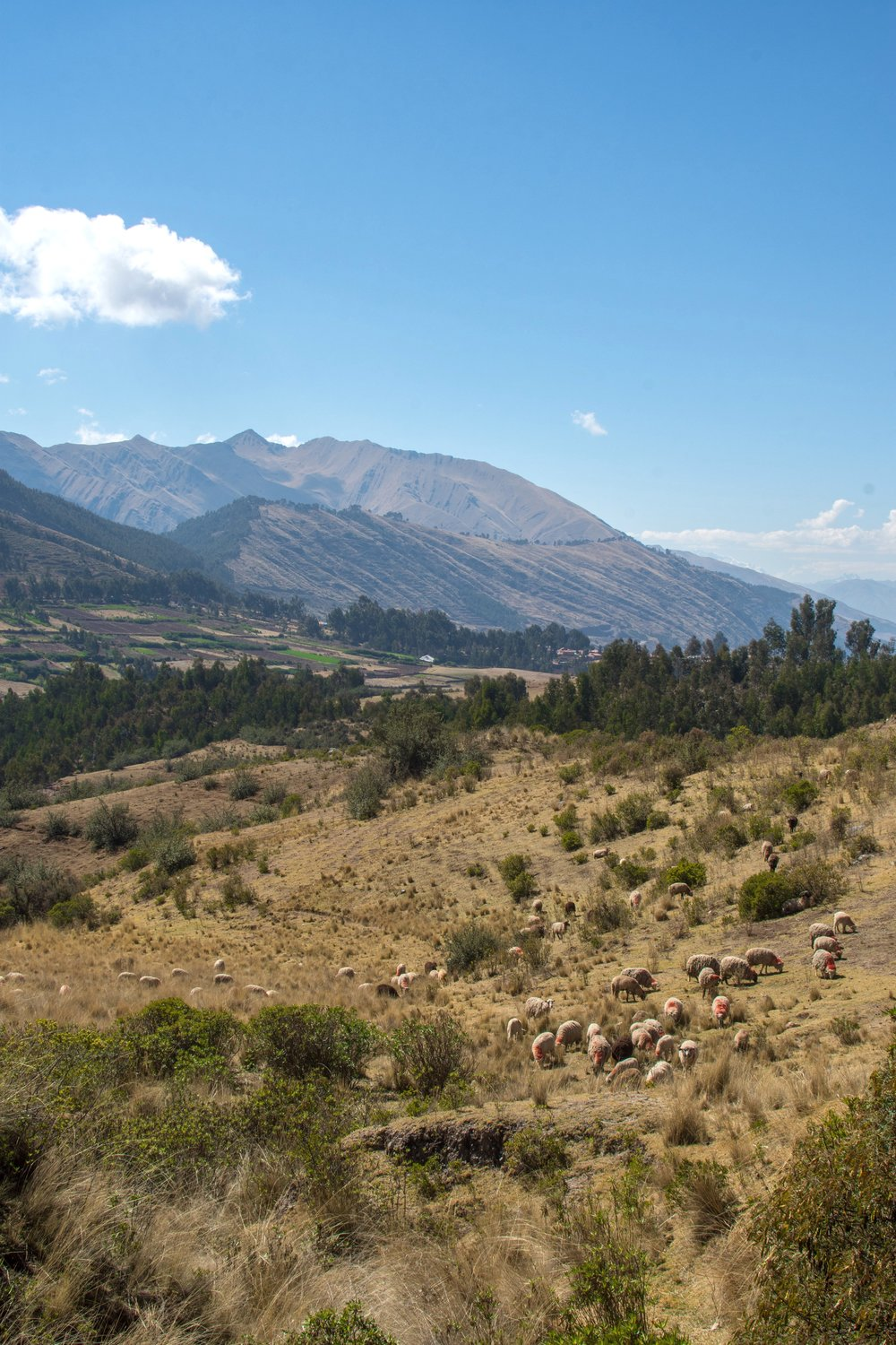 Sheep near Cusco