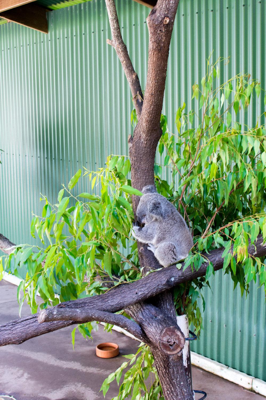 Koala at the Wildlife Habitat