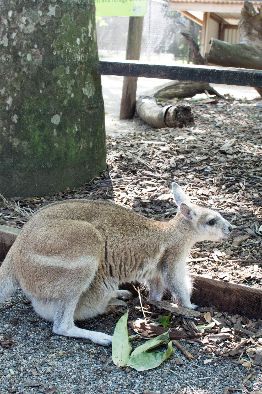 Wallaby at the Wildlife Habitat