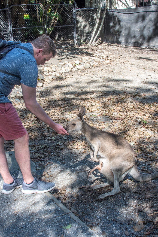 Feeding Kangaroos at The Wildlife Habitat in Port Douglas, Australia