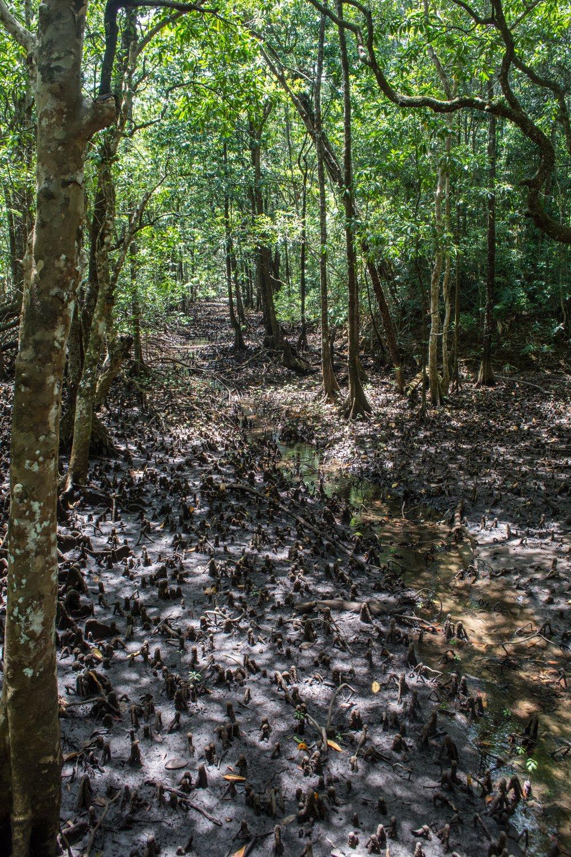 Maardja Botanical Walk - Daintree Rainforest, Australia