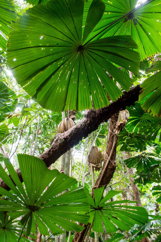 Dubuji Boardwalk - Daintree Rainforest, Australia