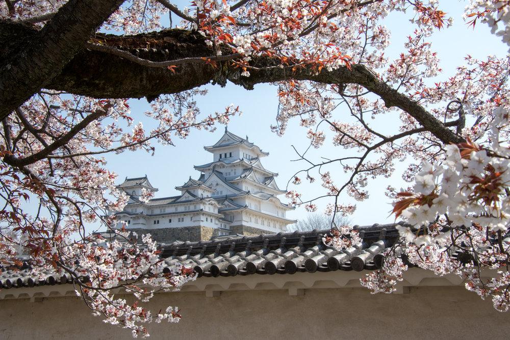 cherry blossom tree cost