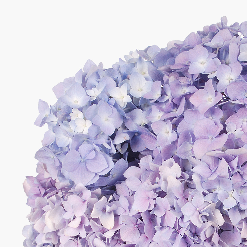 thumbs_our-flowers_HYDRANGEAS.jpg