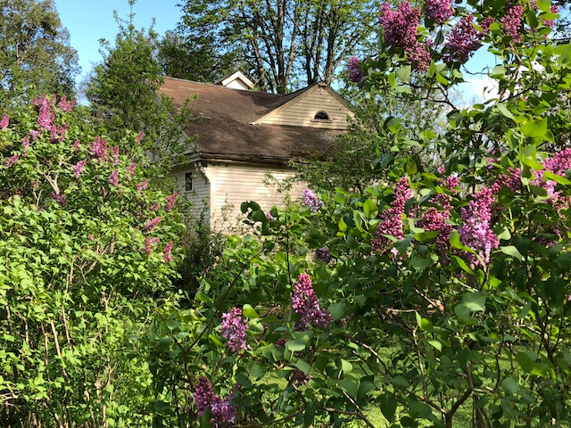 Lilacs in front of the original Emerson barn. Photo taken May 2018.