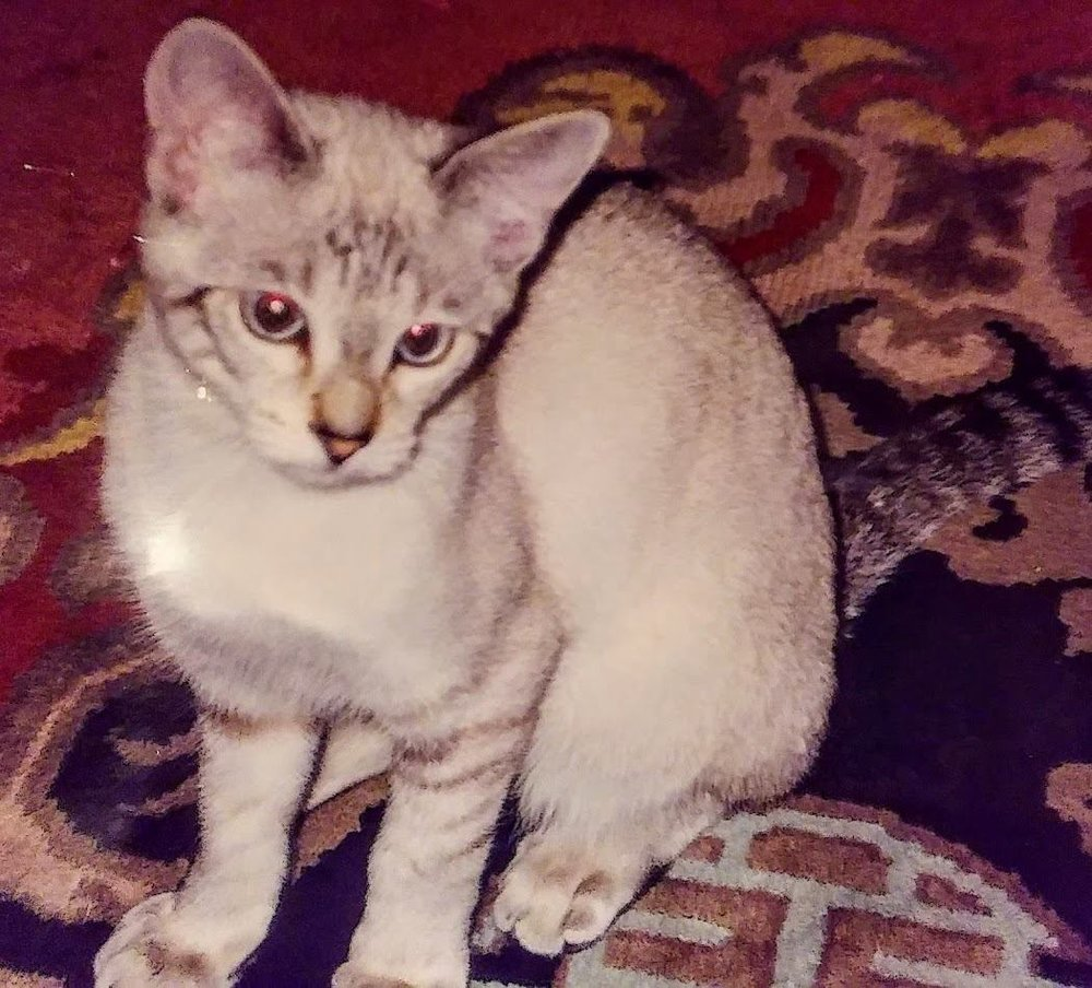 Teddy, the inspiration for Joplin's cat Quincy