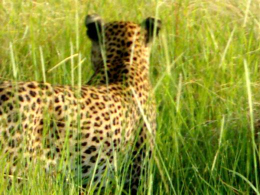 leopard-botswana.jpg