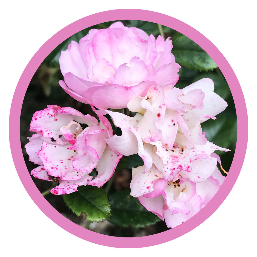 roses round.jpg