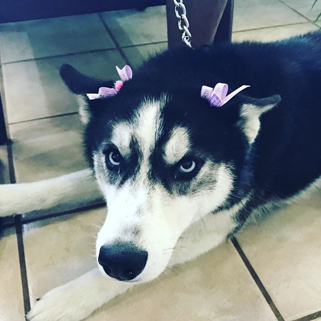 Check out Luna! She came into the clinic recently and was rock in' some awesome bows! 😍  #husky #doglife #vetlife #weloveourpatients