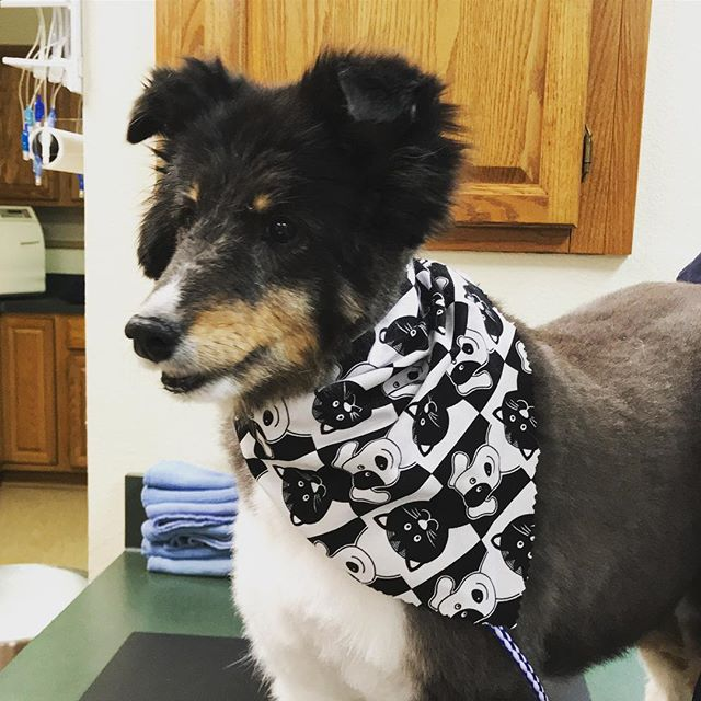 Miss Lexi lookin' so stylish! She's ready for the weekend. Are you? . . . #weloveourpatients #vetlife #doglife #sheltie #shetlandsheepdog
