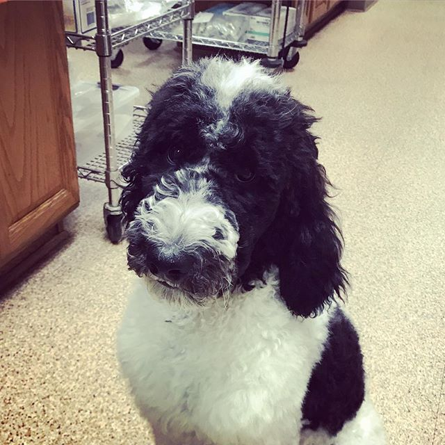 """Milo the standard poodle is a master of """"sad puppy eyes"""". Don't worry, we gave him ALL THE TREATS!  #weloveourpatients #vetlife #standardpoodle #partypoodle"""