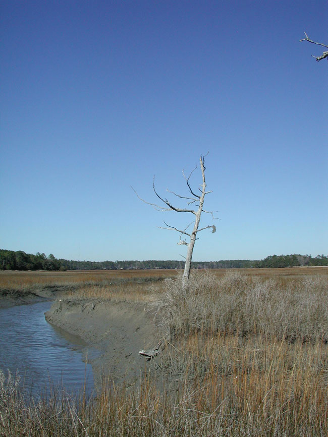 Coastal_SC-tree.jpg
