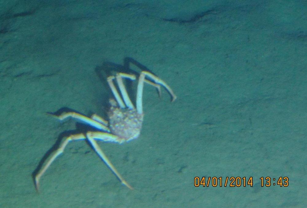 OC26_spider_crab_web.jpg