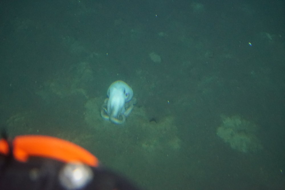 5-ShyOctopus.JPG