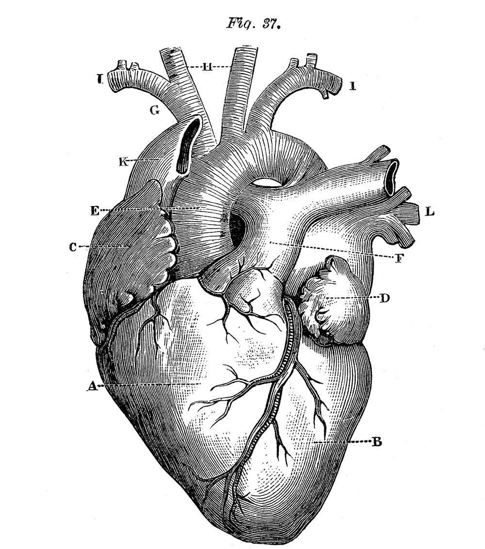 heart-anatomy-royaltyfree.jpg