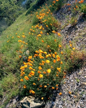 folsom-wild-flowers1-small.jpg
