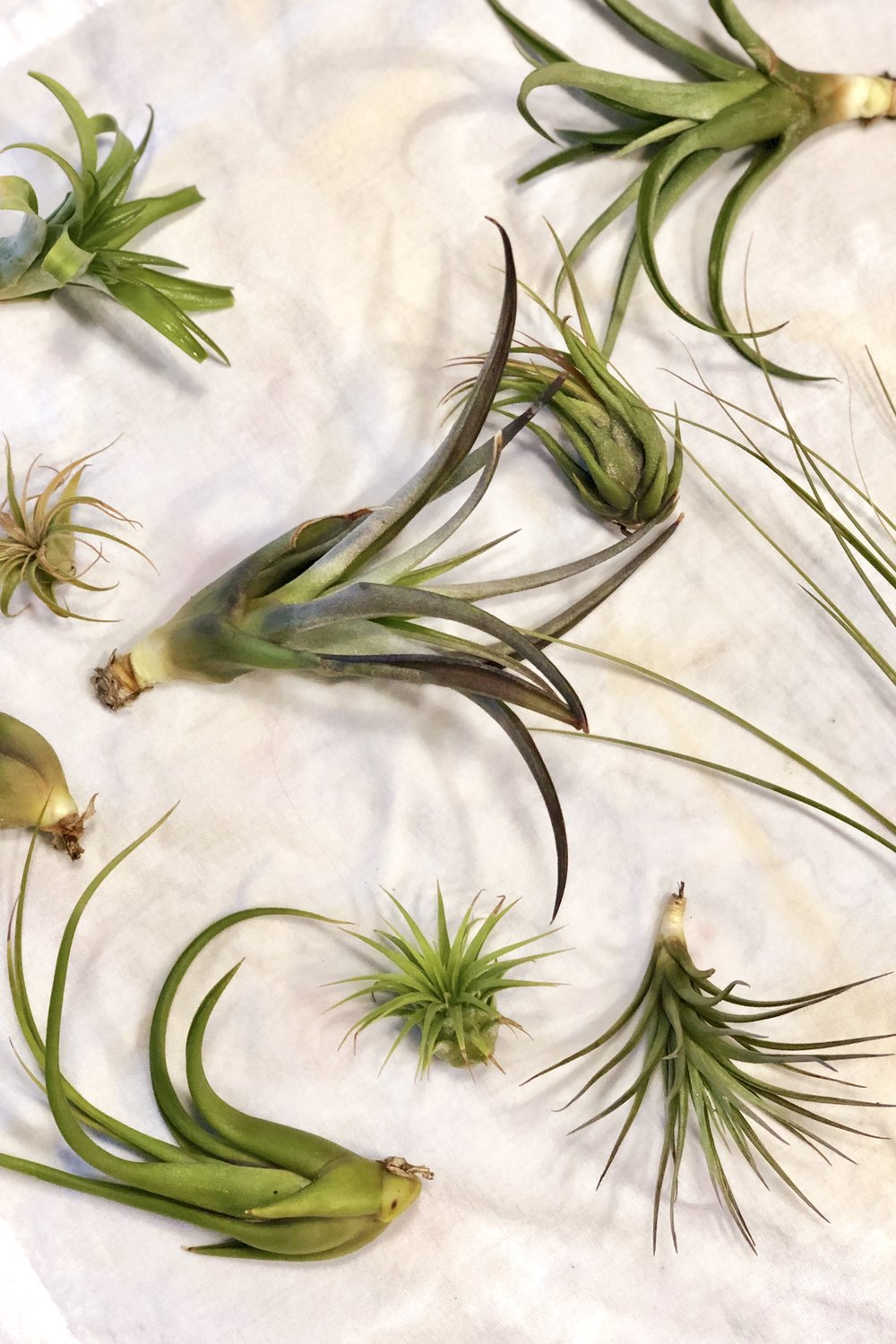 Drying air plants.