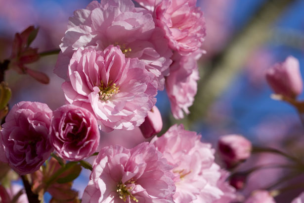 Japanese Flowering Cherry Tree - Inspiration