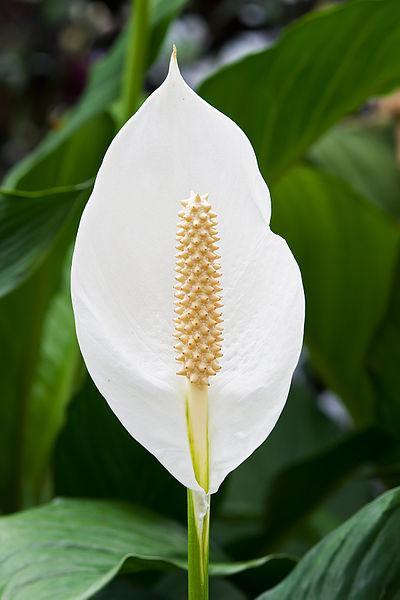 Peace Lily - Nonviolent Communication