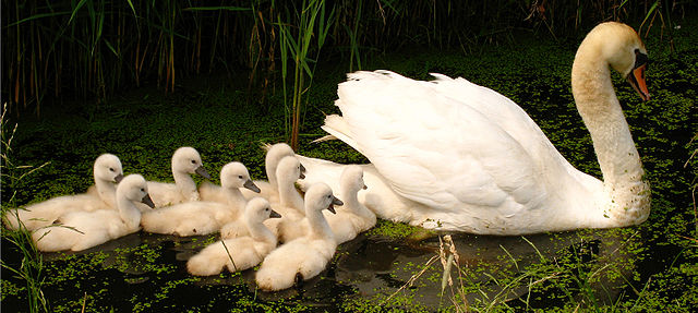 640px-Swan_with_nine_cygnets_3