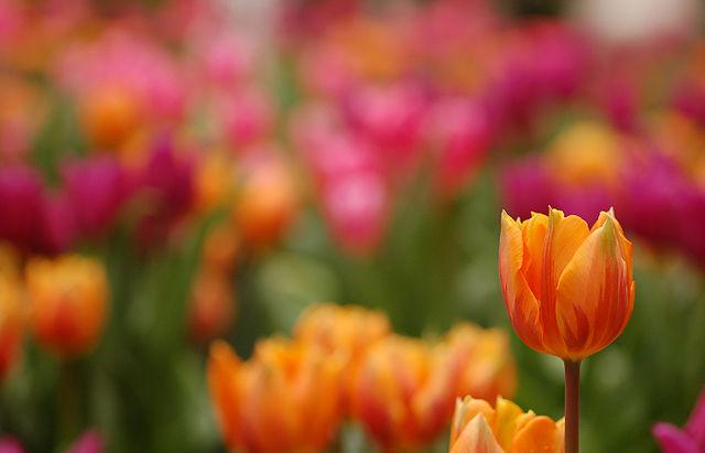 640px-Triumph_Tulip_Tulipa_'Prinses_Irene'_Single_2859px