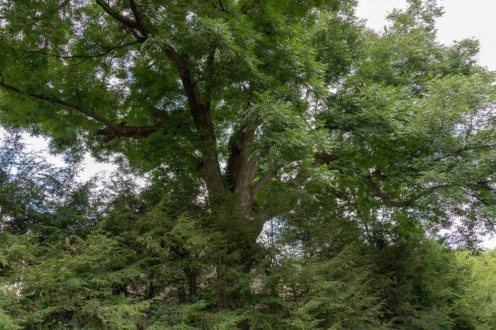 This pecan tree is the only remaining witness tree from when Andrew Johnson lived in the estate.