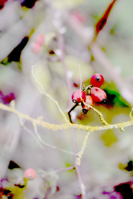 lichen-and-rosehip.jpg
