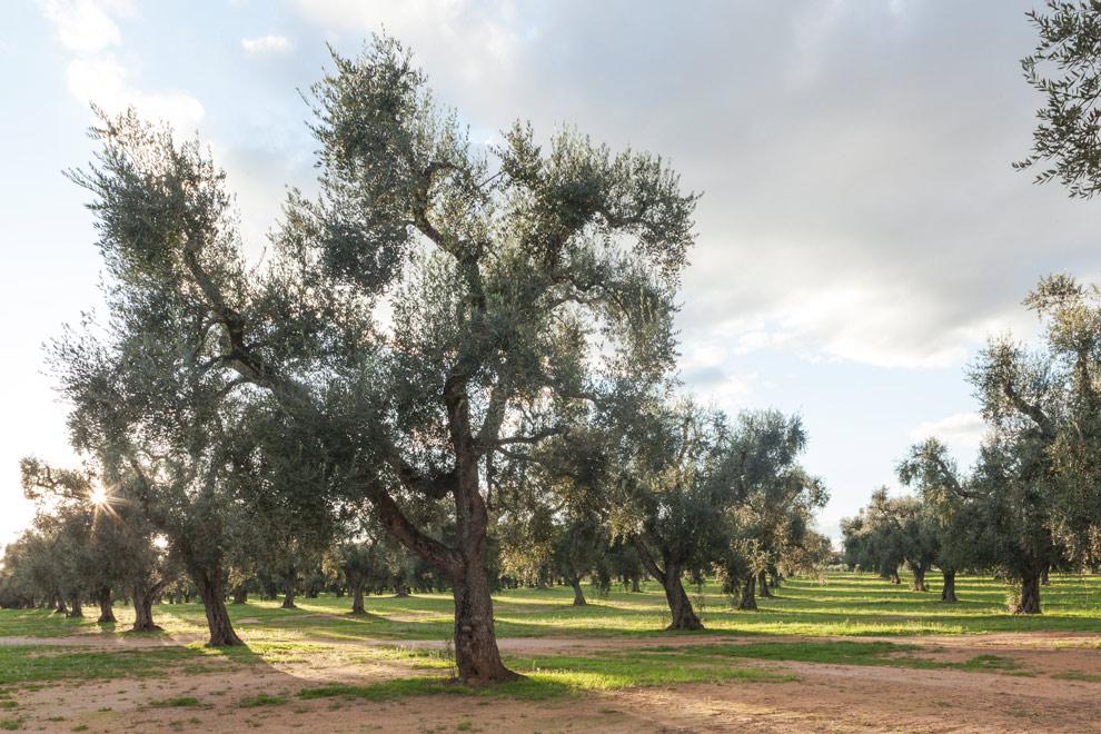 Olive Groove.jpg