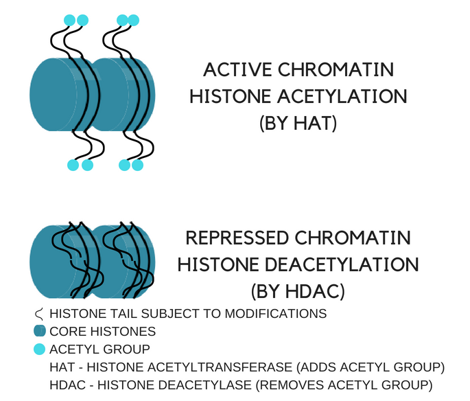 Figure 1. How histone acetylation and deacetylation can cause either gene expression or repression