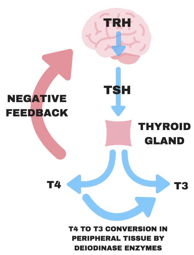 Will The Ketogenic Diet Destroy Your Thyroid Ketonutrition