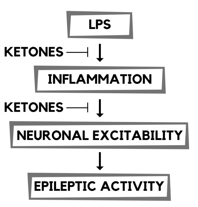 - The inflammatory response from LPS is due to the release of proinflammatory cytokines, such as IL-1B, COX-2, and prostaglandins. The effects of LPS are thought to enhance the brain's excitability through changes in the GABAergic, glutamatergic, and adenosinergic systems, all of which influence epileptic activity.