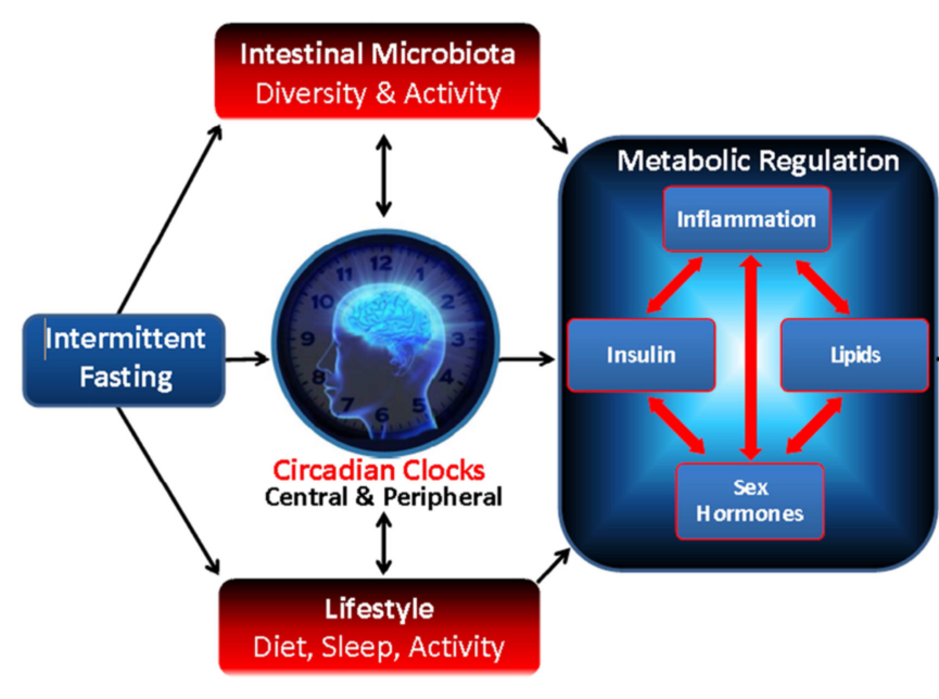 Association of intermittent fasting with intestinal microbiota, circadian clock, other lifestyle factors, metabolic regulation and downstream impacts on obesity, type 2 diabetes (T2D), cancer, and cardiovascular disease (CVD). [4]