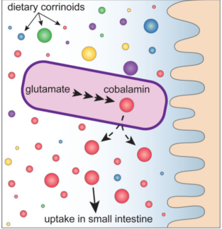 In Herbivorous animals, gut microbes provide a direct source of cobalamin [27]