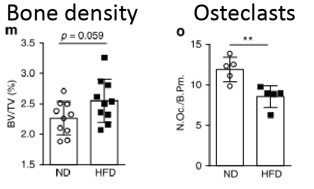 A diet high in fiber (HFD) increases the bone density (left) and reduces the number of osteclasts (right) [22]