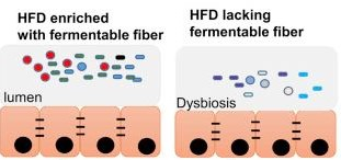 Bacterial Dysbiosis through high-fat diet (HFD) in combination with low-fiber intake [7]
