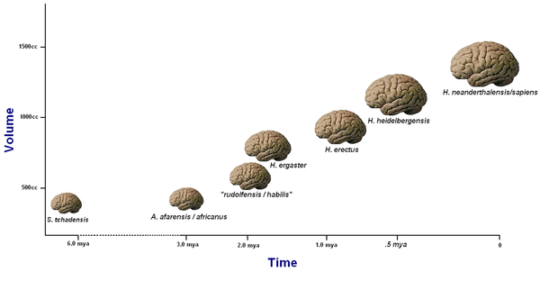 crude plot of average hominid brain sizes over time. [4]