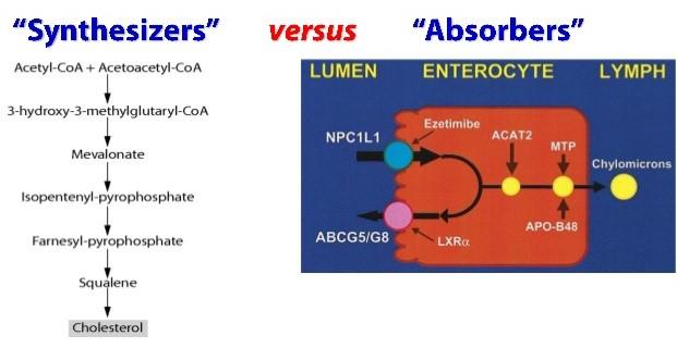 Cholesterol synthesis and uptake.jpg