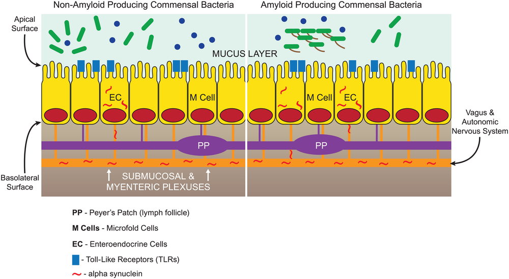 Microbial amyloid can engage TLRs on the epithelial surface and prime systemic inflammation through the lymph follicles (Peyer patches) linked to M cells. This priming of the innate immune system via a hematogenous route may cause enhanced response to neuronal amyloids in the brain. Microbial amyloid may also increase production of neuronal amyloids (such as alpha-synuclein) [16]