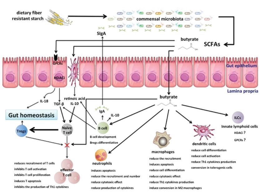 crosstalk between microbiota and the immune system via SCFAs [from 12]
