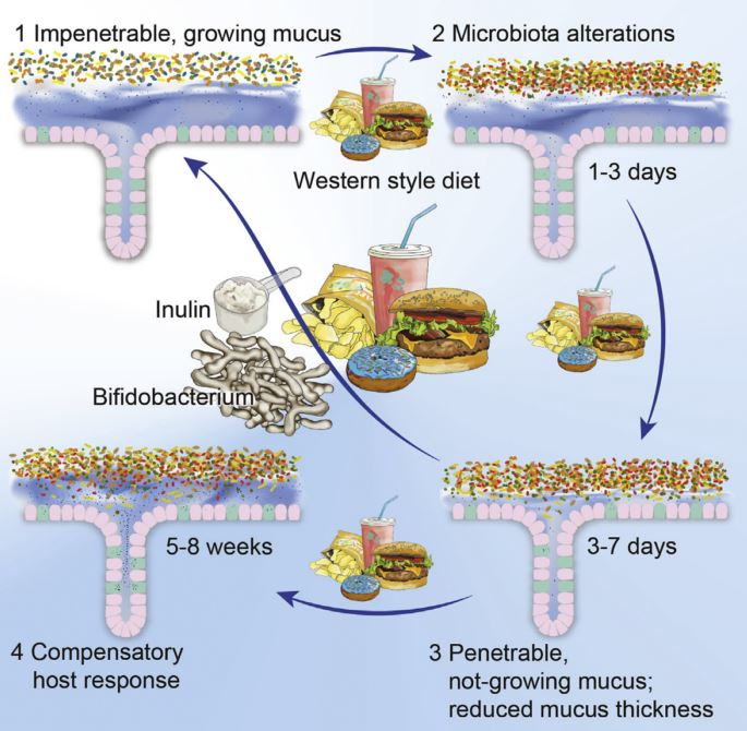 Bifidobacteria or Fiber Protects against Diet- Induced Microbiota-Mediated Colonic Mucus Deterioration [from 15]